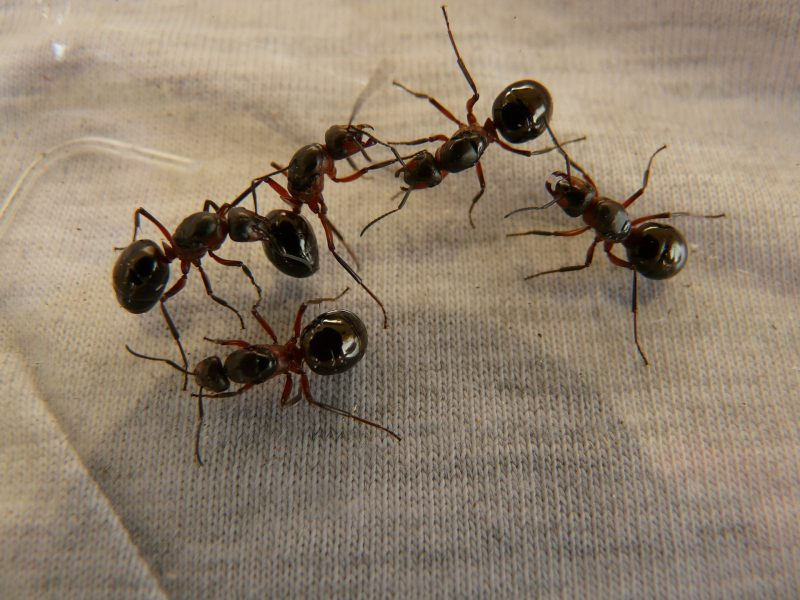 forest-ant-queens-3254_1920
